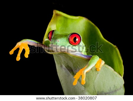 Red-eyed tree frog hanging out of a fresh banana leaf - stock photo