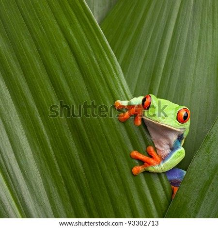 red eyed tree frog hiding in green background leafs Agalychnis callydrias exotic amphibian macro treefrog  Costa Rica curious tropical rain forest animal copyspace Panama or terrarium - stock photo