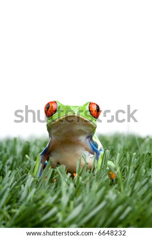 red-eyed tree frog in the grass, closeup isolated on white - stock photo