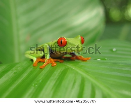 Red eyed tree frog of Costa Rica on the leaf. It's an exotic tropical frog from the jungle and rain-forest of Central America (Costa Rica, Nicaragua). Photo taken in Nicaragua, 08.2014 - stock photo