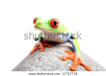 red-eyed tree frog on a rock, closeup isolated on white. Agalychnis callidryas.