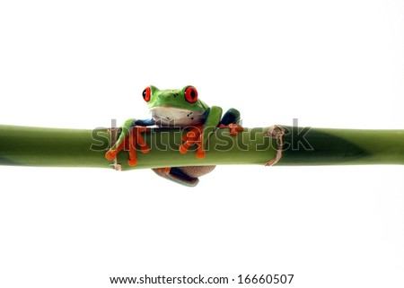 Red-Eyed Tree Frog on Bamboo. - stock photo
