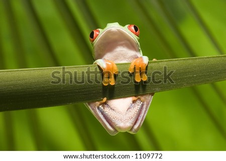 Red Eyed Tree Frog on branch 3 - stock photo