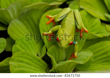 Red eyed tree frog on leafy background - stock photo