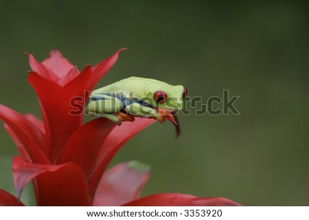 Red-eyed tree frog on Tropical Plant - stock photo