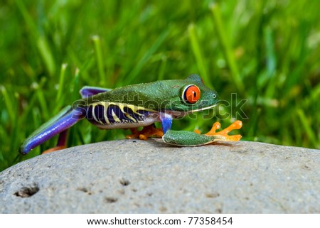 Red Eyed Tree Frog outside on a rock