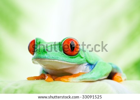 red-eyed tree frog sitting on a leaf close up - Agalychnis callidryas