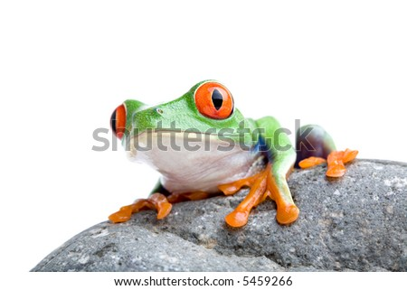 red-eyed tree frog sitting on a rock, isolated on white
