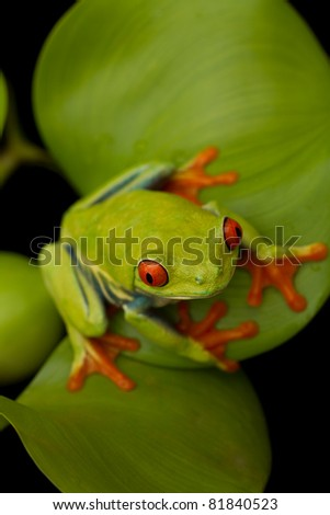 Red eyed tree frog sitting on leaf with black background