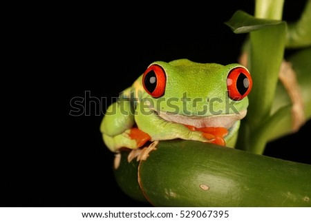 red eyed tree frog - studio photograph