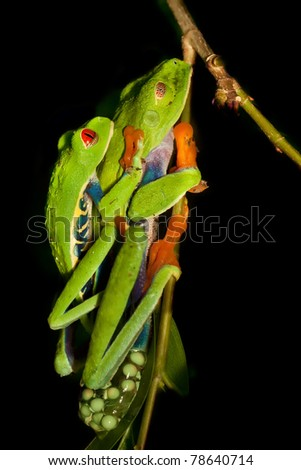 Red-eyed tree frogs - stock photo