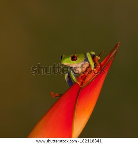 Red Eyed Treefrog  - stock photo