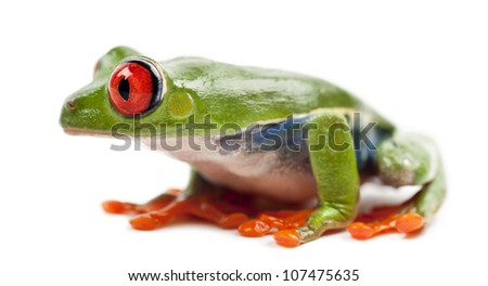 Red-eyed Treefrog, Agalychnis callidryas, against white background - stock photo