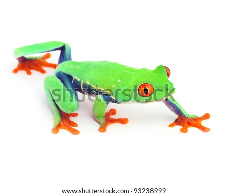 red eyed treefrog frog crawling macro isolated exotic curious tree animal bright vivid colors of tropical rain forest Costa Rica cute and funny amphibian - stock photo