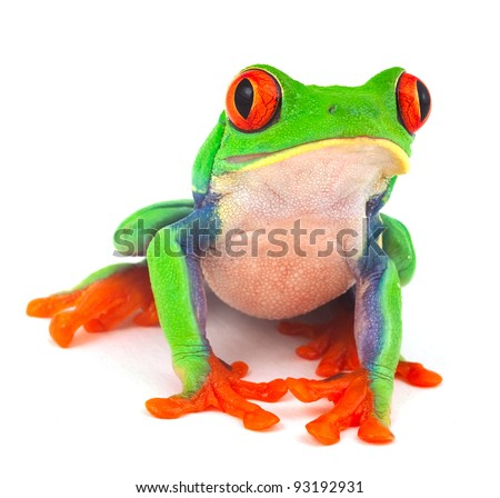 red eyed treefrog macro isolated exotic frog curious animal bright vivid colors Agalychnis calydrias beautiful eye colorful amphibian looking up closeup - stock photo