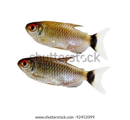 Red Eyes Fishes isolated on white background