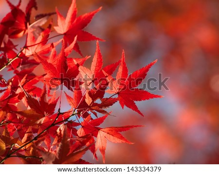 Red Fall Leaves, Japanese Maple with blurry background - stock photo