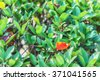 Red fall leaves on a bed of green bush - stock photo