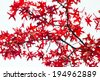 Red fall leaves texture on white background - stock photo