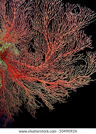 Red fan coral on black background - stock photo