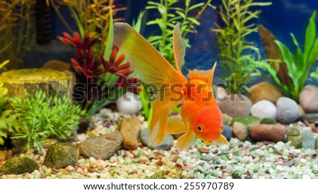 Red Fantail, hardy fancy gold fish in planted aquarium  - stock photo