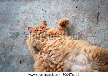 red fat cat in the street - stock photo