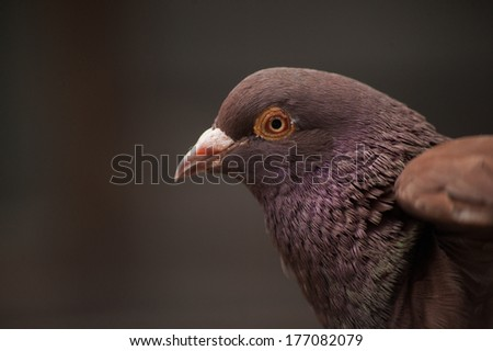 Red fawn red eyed domestic pigeon close up portrait - stock photo