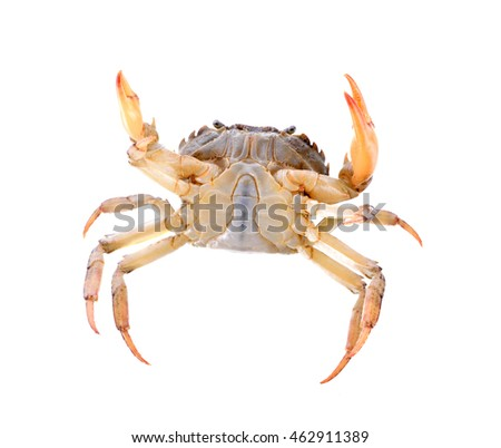 Red field crab on white background