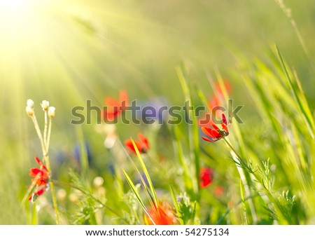 Red field flowers with green crops. Shallow DOF - stock photo