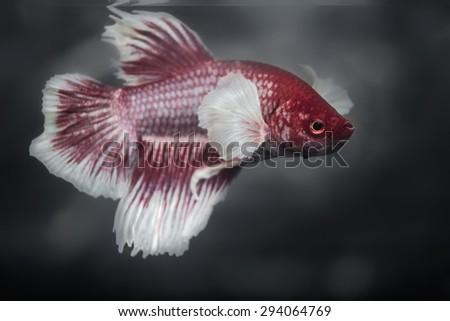 red fighting fish - stock photo