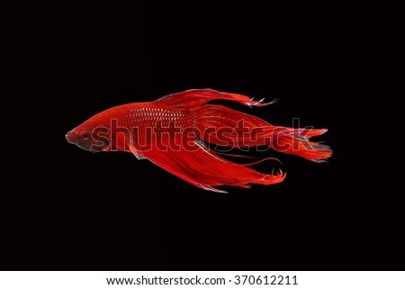 red fighting fish isolated on black background.