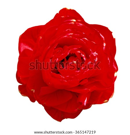Red filled tulip blossom close up isolated on white with clipping path.        - stock photo