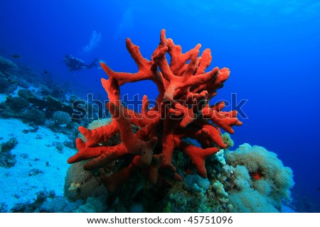 Red Finger Sponge with Scuba Diver in background - stock photo