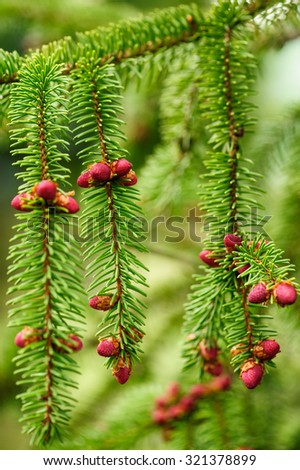 Red fir cone during springtime on a evergreen tree, close-up composition. Natural background. Shallow DOF, selective focus. Vertical composition. - stock photo