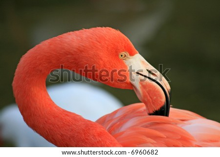 red flamingo in a park in Florida - stock photo