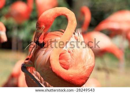 red flamingo in a park in Florida USA - stock photo