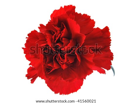 Red flowe carnation isolated on white background - stock photo
