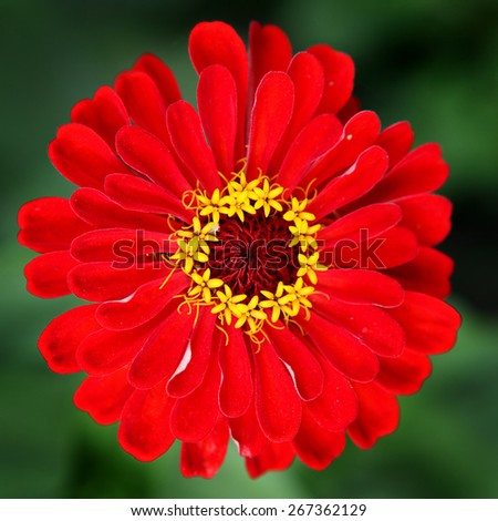 Red Flower closeup on the Nature Background - stock photo