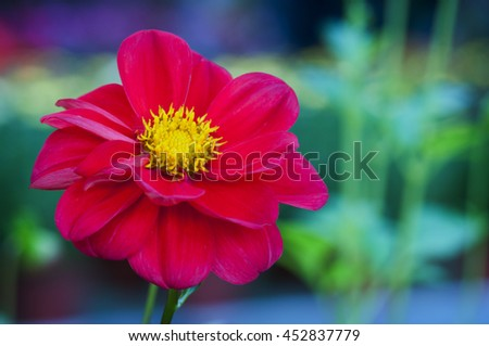 Red Flower - Cosmos bipinnatus 'Sonata Dwarf Ladybird Mix' - stock photo