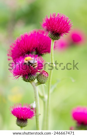 Red flower, crimson thistle with a honey bee - stock photo