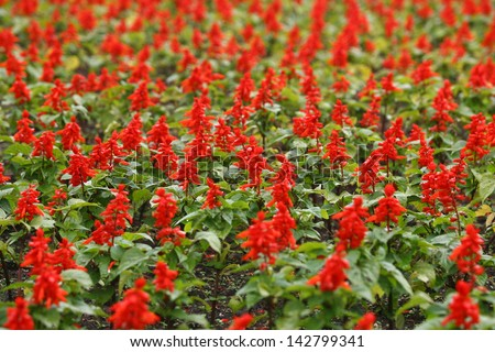 red Flower Field Fresh Bright Sunny Day, field of flowers