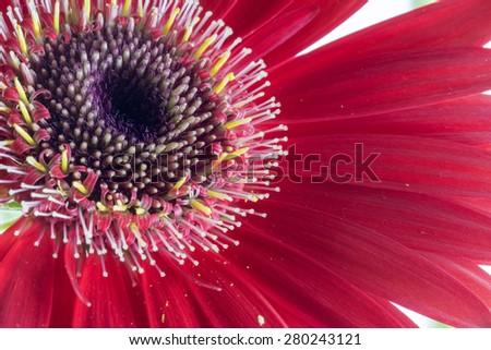 Red flower Gerbera close up - Macro red gerbera flower - stock photo