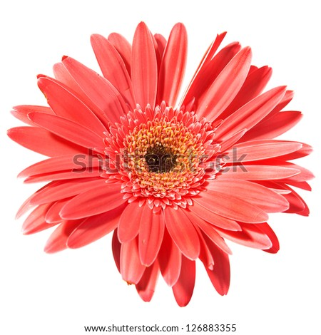 Red flower gerbera isolated on white background - stock photo