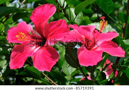 Red flower- Hibiscus - stock photo