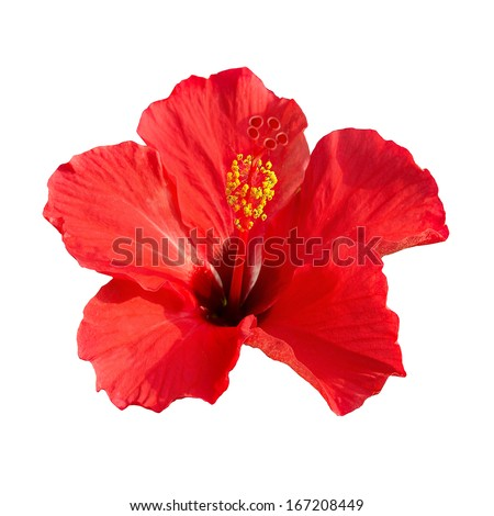 Red flower- Hibiscus rosa sinensis isolated on white background