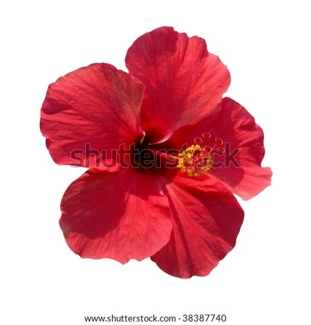Red flower- Hibiscus rosa sinensis with path isolated on white
