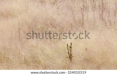 Red Flower in a Sea of Grass at Mono Lake Tufa State Natural Reserve - stock photo