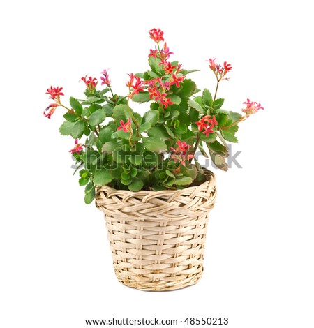 red flower in pot isolated on white