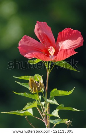 Red flower is situated against the deep-green background. The tea made from hibiscus flowers is known by many names in many countries around the world and is served both hot and cold. - stock photo
