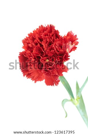 red flower isolated on white background. Close-up. Studio photography.